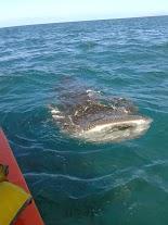 Requin-baleine 4